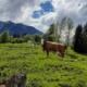 Ferlhof - Kühe auf der Weide